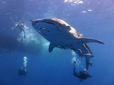 D1513bscuba diving with a whale shark koh tao
